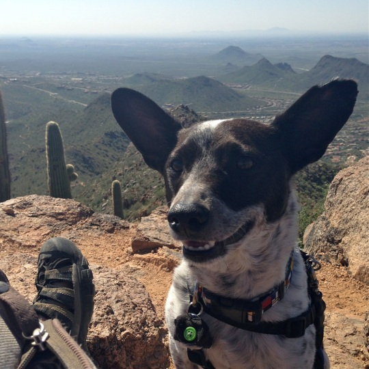 A dog smiling at the top of a mountain