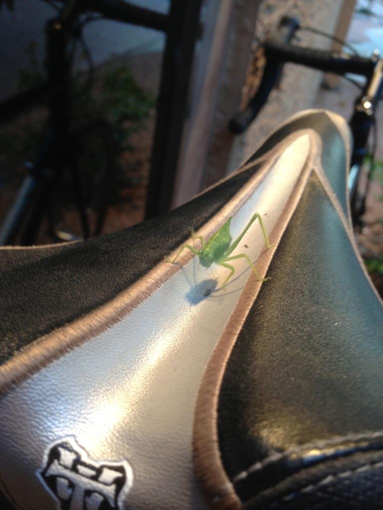 A leaf bug on my bike seat